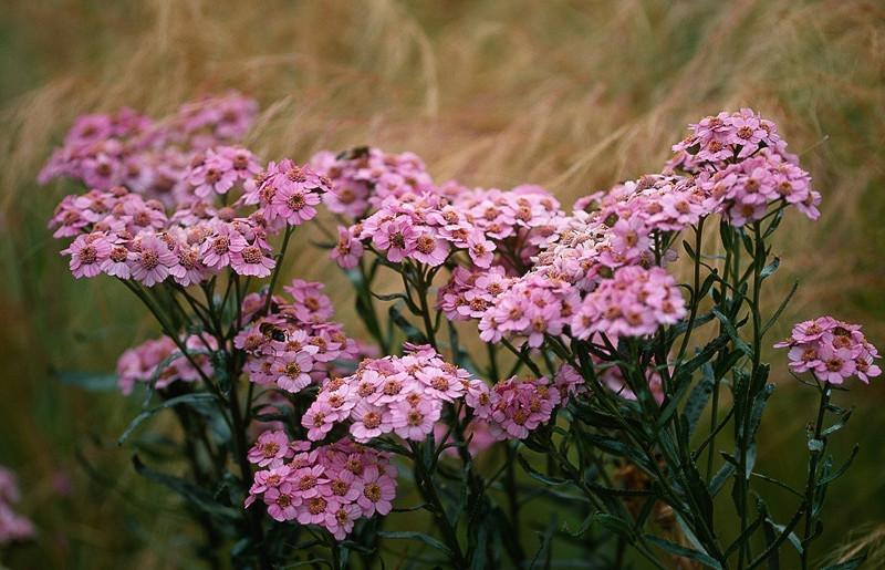 Achillea sibirica subsp. camschatica 'Love Parade', Achillea 'Love Parade', 'Love Parade' Yarrow, summer perennial, drought tolerant perennial, pink flowers