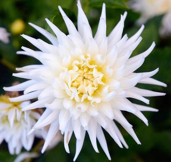 Dahlia 'My Love', 'My Love' Dahlia, Semi-Cactus Dahlias, white Dahlias, Karma Dahlias, Dahlia Tubers, Dahlia Bulbs, Dahlia Flower, Dahlia Flowers, summer bulbs