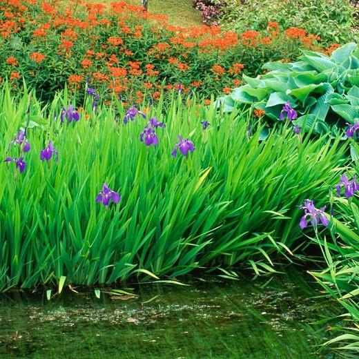 Euphorbia griffithii 'Fireglow', Euphorbia 'Fireglow',  Spurge 'Fireglow', Red Flowers, Orange Flowers,
