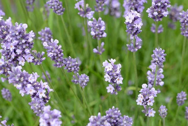Lavender Munstead, lavandula angustifolia Munstead, English Lavender 'Munstead', Lavandula 'Munstead', Purple flowers, Drought tolerant plant, Deer resistant plants, fragrant flowers