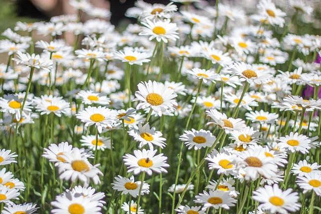 Leucanthemum x Superbum 'Snowcap', Shasta Daisy, Shasta Daisy 'Snowcap', White Flowers, 'Snowcap' Shasta Daisy