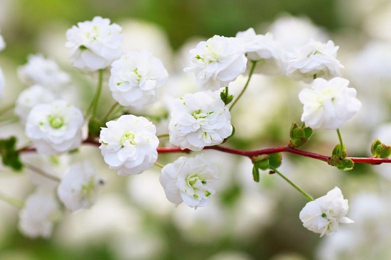 Spiraea prunifolia,Bridal Wreath, Bridal Wreath, Bridal Wreath Spiraea, White flowers, Spring blooms, Fall color, Bridalwreath Spirea