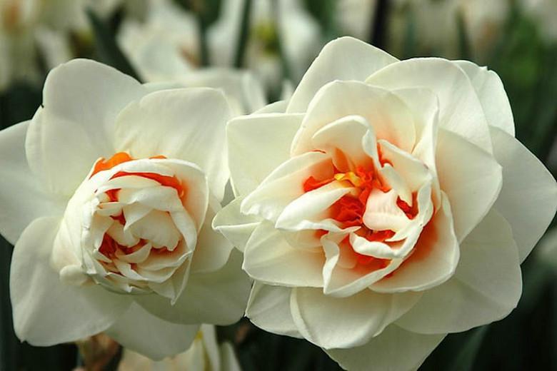 Narcissus Flower Drift, Daffodil Flower Drift, Daffodil 'Flower Drift', Double Daffodil 'Flower Drift', Double Narcissus 'Flower Drift', Spring Bulbs, Spring Flowers, double narcissi, fragrant daffodils