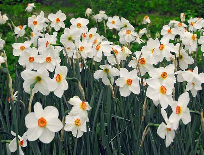 Narcissus Poeticus var. Recurvus, Old Pheasant's Eye, Pheasant's Eye Daffodil, Poet's Daffodil, Narcissus Recurvus, Poet's Narcissus, Spring Bulbs, Spring Flowers, late spring bulb, fragrant daffodil
