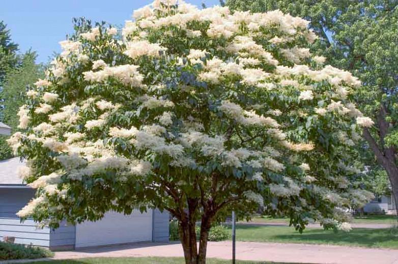 Syringa Reticulata Subsp Reticulata Snowdance Japanese Tree Lilac