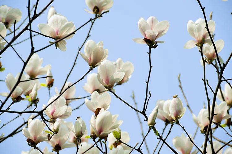 Magnolia denudata, Yulan Magnolia, Lily Tree, Lilytree, Naked Magnolia, Slender Magnolia, White magnolia, Winter flowers, Spring flowers, White flowers, fragrant trees, fragrant flowers