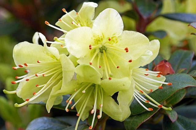 Rhododendron 'Princess Anne', 'Princess Anne' Rhododendron, Early Midseason Rhododendron, Evergreen Rhododendron, Yellow Rhododendron, Yellow Flowering Shrub