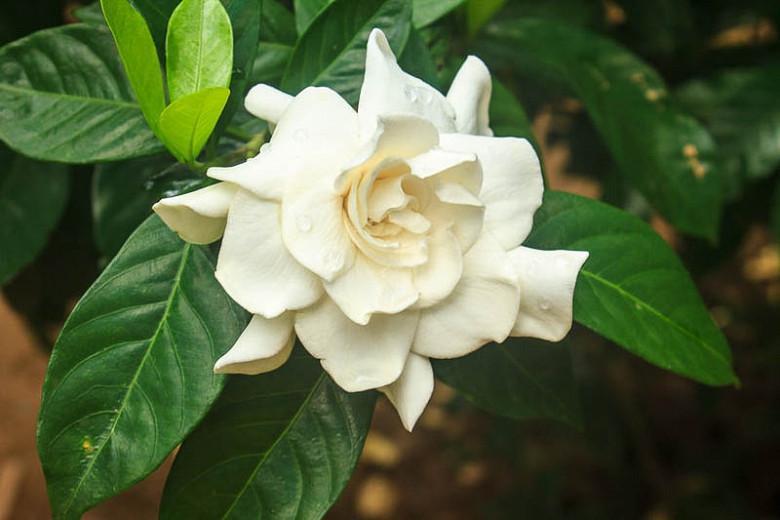 Gardenia jasminoides, Cape Jasmine, Common Gardenia, Gardenia augusta, Gardenia florida L., Gardenia grandiflora, Fragrant flowers, evergreen shrub, White flowers