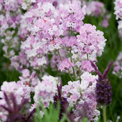 Lavandula Angustifolia 'Little Lottie', English Lavender 'Little Lottie', Lavender 'Little Lottie', Lavandula 'Little Lottie', Lavender plants, Lavender flowers, Lavender plant, Pink lavenders, Drought tolerant plants, Deer resistant plants, fragrant flow