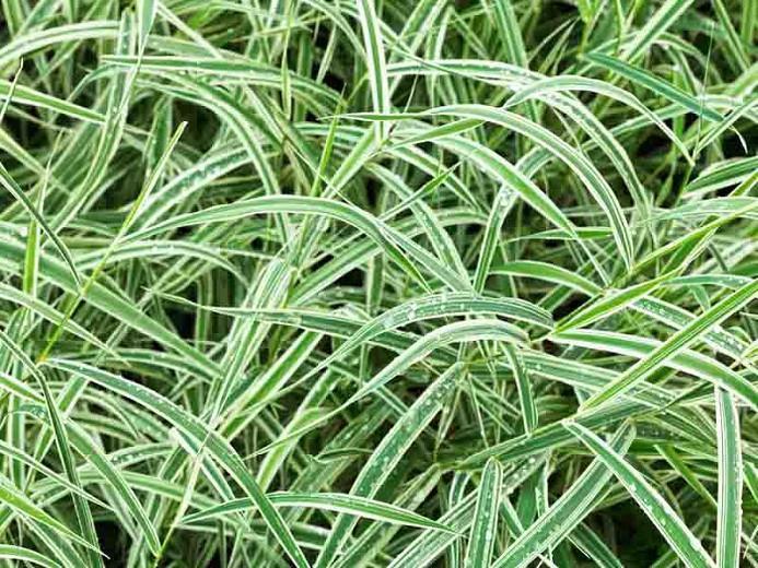 Carex morrowii 'Variegata', Sedge 'Variegata', Japanese Sedge 'Variegata', Morrow's Sedge 'Variegata', Variegated Sedge, Ornamental grasses,
