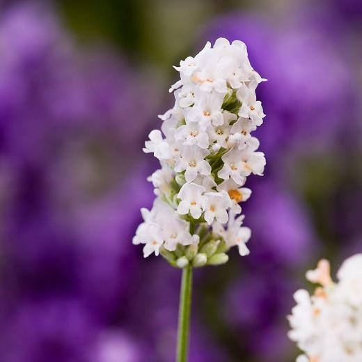 Lavender Nana Alba, English Lavender 'Nana Alba', Lavender 'Nana Alba', Lavandula 'Nana Alba', Lavandula Angustifolia 'Dwarf White', Lavandula Angustifolia 'Baby White', Lavandula Spica 'Nana Alba', White Lavender, Drought tolerant plants, Deert tolerant