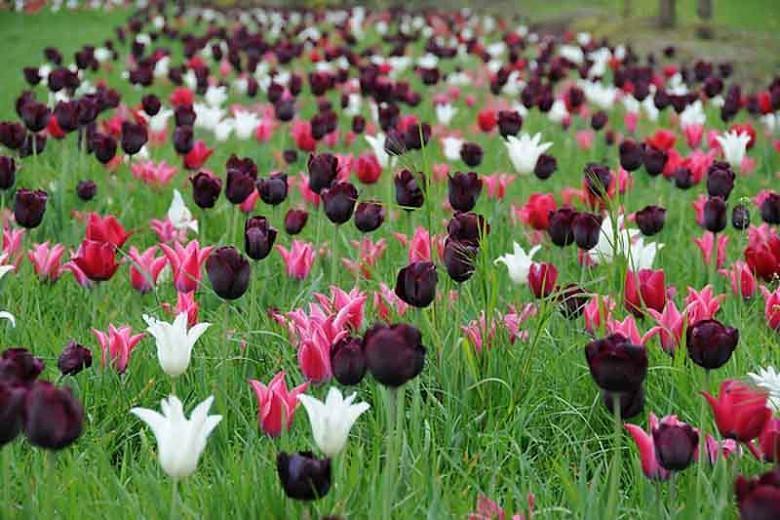 Tulipa Ronaldo,Tulip 'Ronaldo', Triumph Tulip 'Ronaldo', Triumph Tulips, Spring Bulbs, Spring Flowers, Tulipe Ronaldo, Purple Tulips,Dark Tulips, Tulipes Triomphe