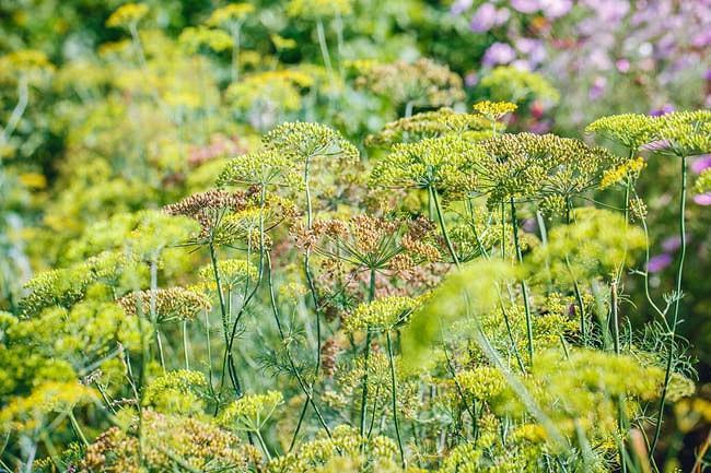 Foeniculum Vulgare 'Rubrum', Bronze Fennel, Foeniculum vulgare subsp. vulgare 'Rubrum',