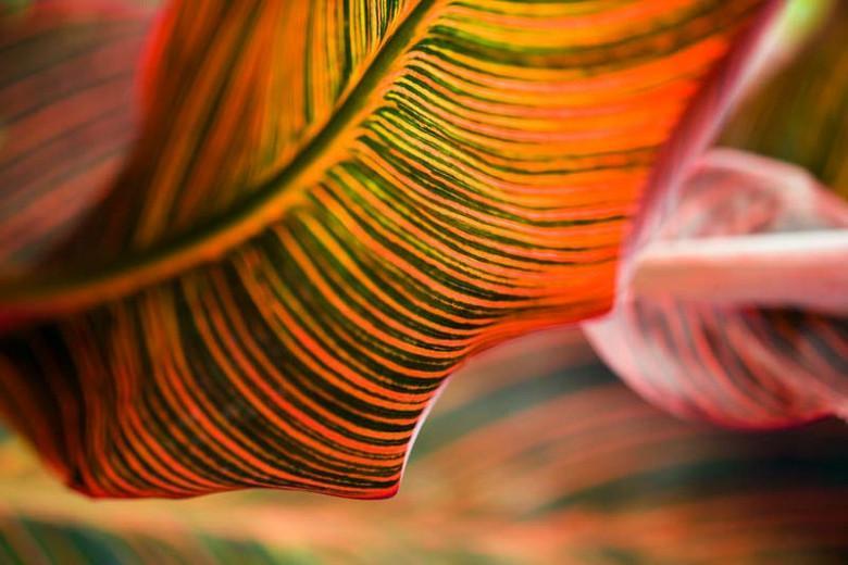 Canna 'Phasion', Indian Shot 'Phasion', Cana Lily Phasion,  Canna 'Durban', Canna 'Tropicanna', Canna Lily bulbs, Canna lilies, Orange Canna Lilies,