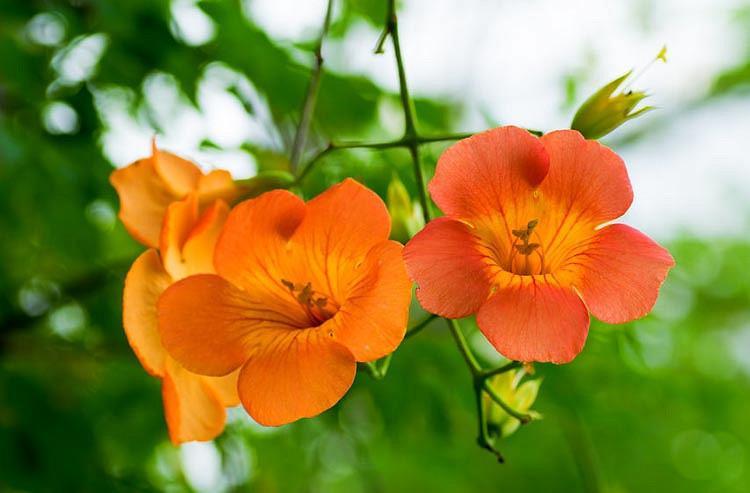 Campsis Grandiflora, Chinese Trumpet Creeper, Orange Vines, Mediterranean Vines, Orange Flowers