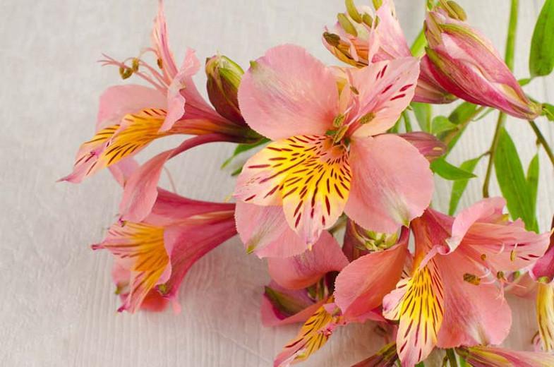 Alstroemeria 'Butterscotch', Peruvian Lily 'Butterscotch', Lily of the Inca 'Butterscotch', Parrot Lily 'Butterscotch', Apricot Lily, Apricot Peruvian Lily, Apricot Alstroemeria, Lily flower, Lily Flower