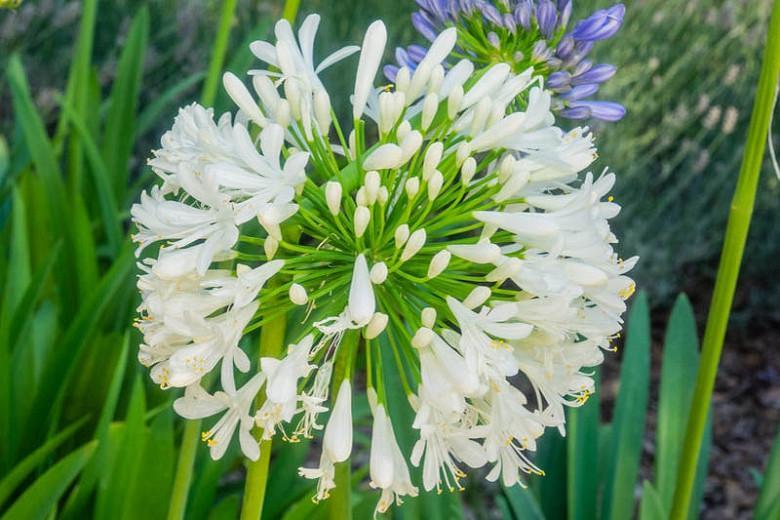 Agapanthus Africanus Albus, White African Lily, Lily of the Nile Albus, African Lily Albus, White flower, White Agapanthus, White African Lily