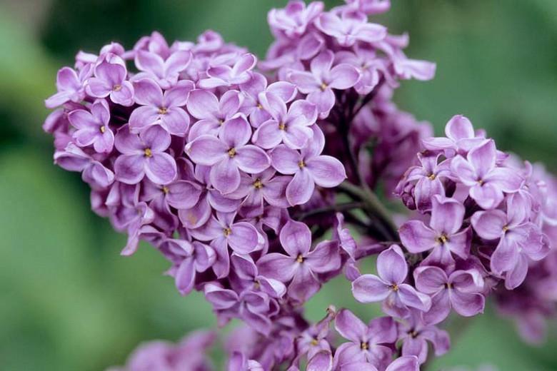 Syringa x hyacinthiflora 'Declaration', Syringa 'Declaration', Early Flowering Lilac 'Declaration', Early Hybrid Lilac 'Declaration', Purple lilac, Fragrant Lilac, Purple Flowers, Fragrant Shrub, Fragrant Tree