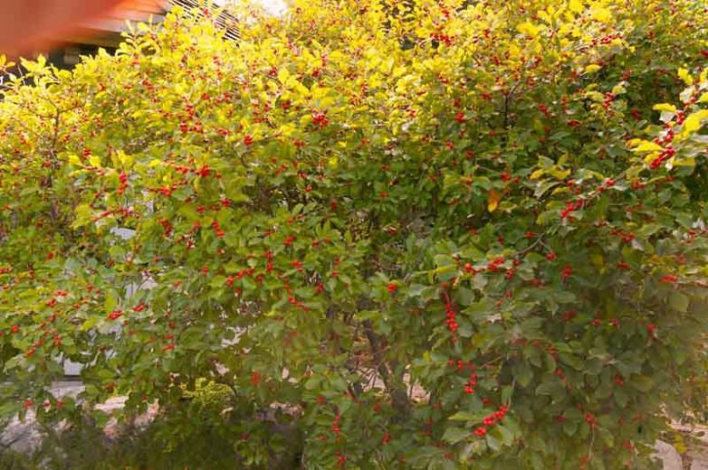 Ilex Verticillata 'Wildfire', Winterberry 'Wildfire', red berries, evergreen shrub, American winterberry, Aquifoliaceae, Berry, holly, Ilex, winter shrub