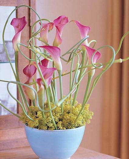 Zantedeschia 'Garnet Glow', Calla Lily 'Garnet Glow', Arum Lily 'Garnet Glow', Calla Lilies, Arum Lilies, Zantedeschia care, pink calla lilies, purple calla lilies