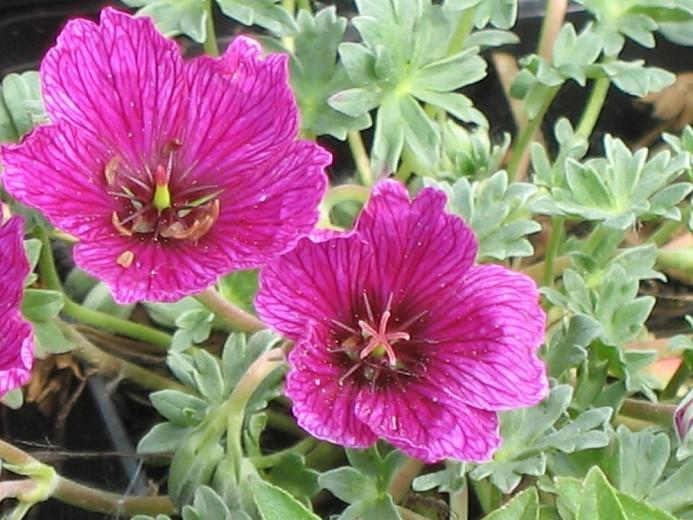 Geranium (Cinereum Group) 'Purple Pillow', Cranesbill 'Purple Pillow', Ashy Cranesbill, Geranium cinereum 'Purple Pillow', Geranium 'Purple Pillow', Hardy Geraniums, Best geraniums, Best Border Geranium, purple geranium