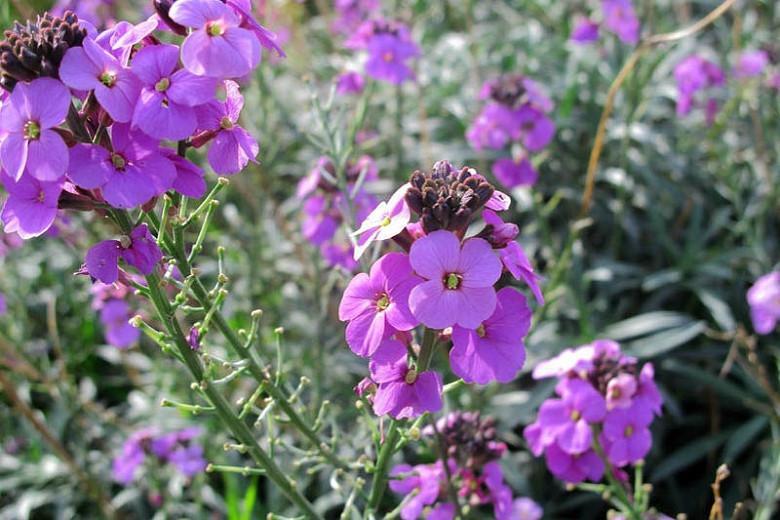 Wallflowers, Erysimum, Cheiranthus, spring flowers, fall flowers, spring garden ideas Erysimum Bowles Mauve, cheiranthus linifolium, Erysimum Linifolium