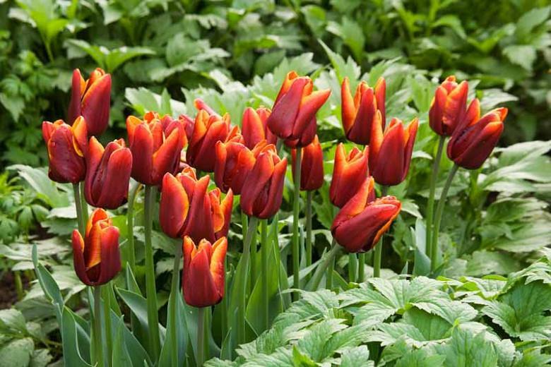 Tulip 'Abu Hassan', Triumph Tulip 'Abu Hassan', Triumph Tulips, Spring Bulbs, Spring Flowers,Tulipa 'Abu Hassan', Red Tulips, Bicolor Tulip, Tulipes Triomphe, Mid spring tulips