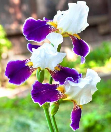 Iris 'Wabash', Tall Bearded Iris 'Wabash', Iris Germanica 'Wabash', MidSeason Irises, White Irises, Purple Irises, Bicolor Irises