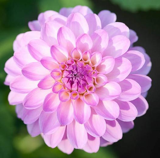 Dahlia 'Megan Dean', 'Megan Dean' Dahlia, Ball Dahlias, Pink Dahlias, Dahlia Tubers, Dahlia Bulbs, Dahlia Flower, Dahlia Flowers, summer bulbs