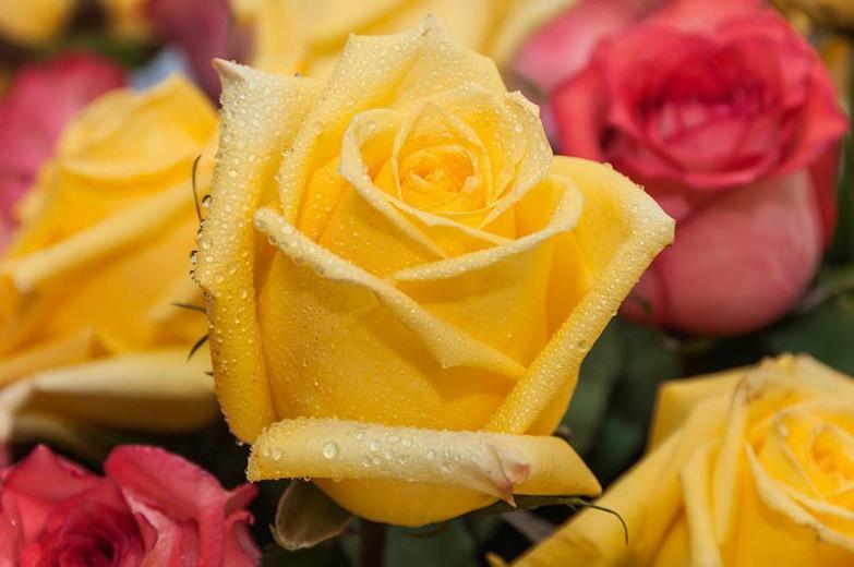 Rosa 'Radiant Perfume', Rose 'Radiant Perfume', Rosa 'JACadnof', Grandiflora Roses, Shrub Roses, Yellow roses, Shrub roses, Rose bush