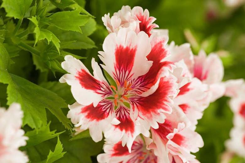Pelargonium 'Fringed Aztec', Regal Pelargonium Fringed Aztec', evergreen perennial, evergreen shrub, White flowers, White geranium, White pelargonium