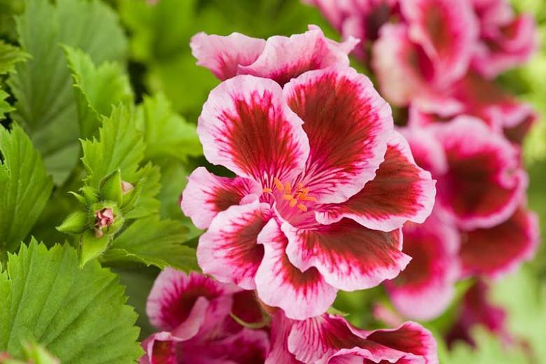 Pelargonium 'Fareham', Regal Pelargonium Fareham', evergreen perennial, evergreen shrub, Purple flowers, Purple geranium, Purple pelargonium
