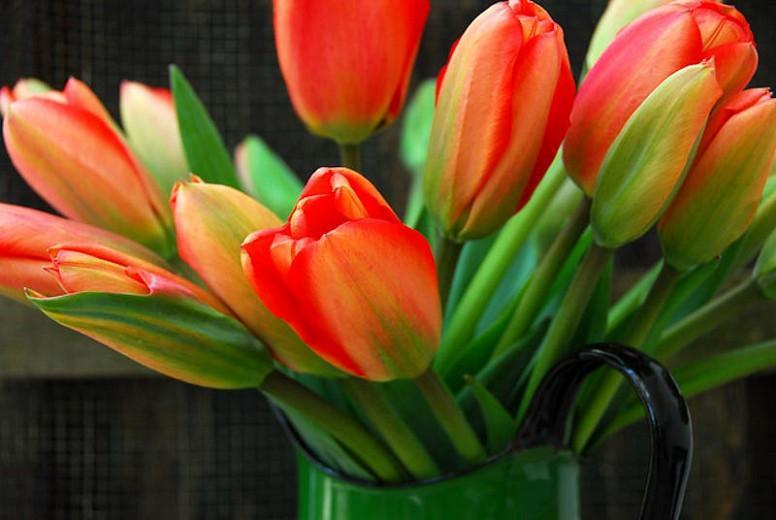 Tulipa 'Apeldoorn', Tulip 'Apeldoorn', Darwin Hybrid Tulip 'Apeldoorn', Darwin Hybrid Tulips, Spring Bulbs, Spring Flowers, Red Tulip