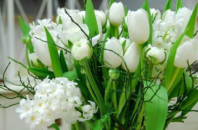 Tulipa White Dream,Tulip 'White Dream', Triumph Tulip 'White Dream', Triumph Tulips, Spring Bulbs, Spring Flowers, Tulipe White Dream, White Tulips, Tulipes Triomphe, Mid late spring tulips