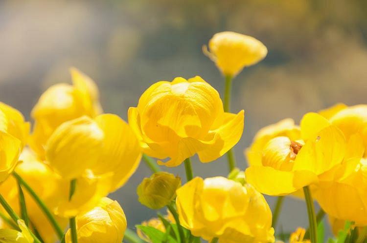 Trollius Europaeus, Globe Flower, Globeflower, Shade plants, shade perennial, plants for shade, plants for wet soils, Yellow Flowers