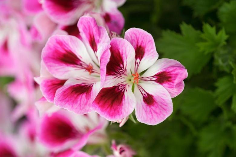 Pelargonium 'Kimono', Regal Pelargonium Kimono, evergreen perennial, evergreen shrub, Purple flowers, Purple geranium, Purple pelargonium, Pink flowers, Pink geranium, Pink pelargonium