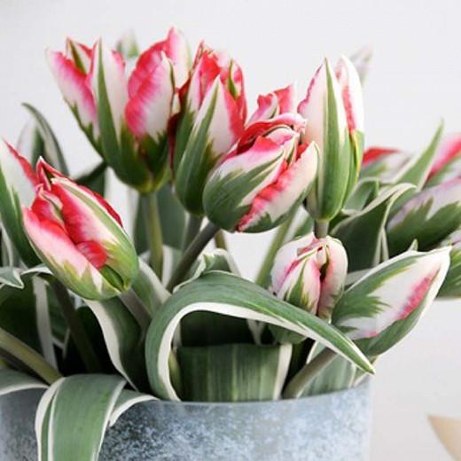 Tulipa Esperanto, Tulip 'Esperanto', Viridiflora Tulip 'Esperanto', Viridiflora Tulips, Spring Bulbs, Spring Flowers, Tulipe Esperanto,Tulipes Viridiflora, Pink Tulips