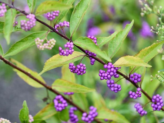 Callicarpa Dichotoma Early Amethyst Purple Beautyberry