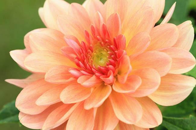 Dahlia 'Apricot Desire','Apricot Desire' Dahlia, Water Lily Dahlias, Waterlily Dahlias, Apricot Dahlias, Dahlia Tubers, Dahlia Bulbs, Dahlia Flower, Dahlia Flowers, summer bulbs