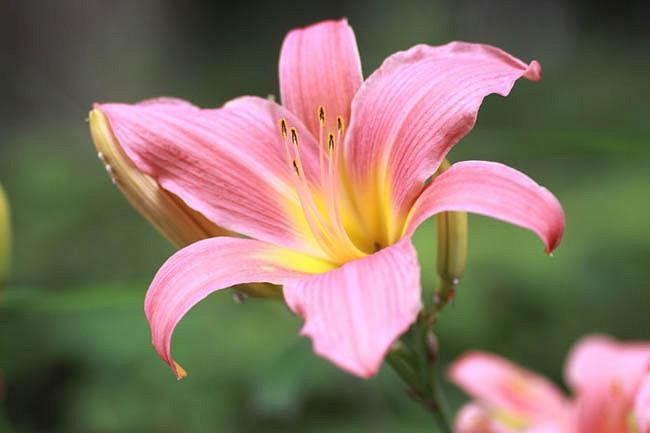 Hemerocallis Pink Damask, Daylily Pink Damask, Day Lily Pink Damask, Pink Damask Daylily, daylilies, Daylily, Day Lilies, Spider Daylilies, Spider Daylily, Pink day lily, Pink Daylily, Pink Hemerocallis