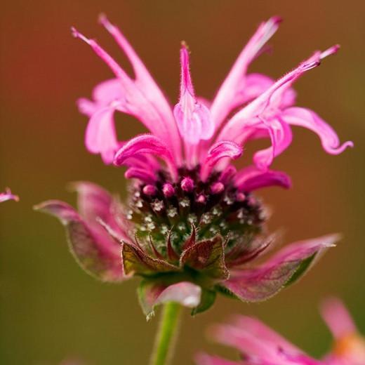 Monarda 'Marshall's Delight',Bee balm 'Marshall's Delight', Bergamot 'Marshall's Delight', pink Monarda, pink bee balm, pink flowers