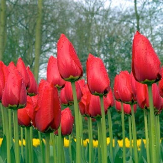 Tulip Red Emperor, Tulip Madame Lefeber,Tulipe Red Emperor, Tulipe Madame Lefeber, Fosteriana Tulip 'Red Emperor', Fosteriana Tulip 'Madame Lefeber', Fosteriana Tulips, Spring Bulbs, Spring Flowers, Tulipa Madame Lefeber, Tulipes Fosteriana