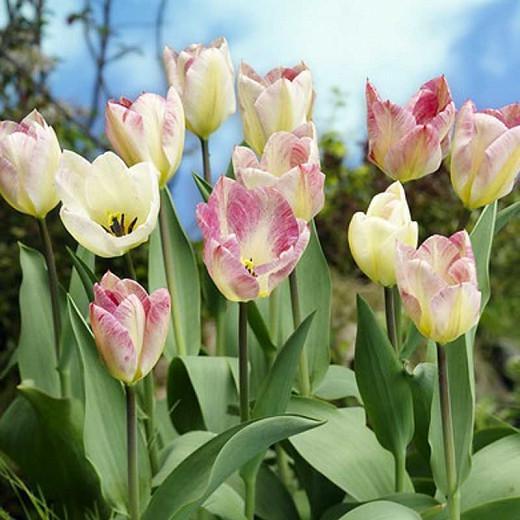 Tulipa Flaming Purissima,Tulip 'Flaming Purissima', Fosteriana Tulip 'Flaming Purissima', Fosteriana Tulips, Spring Bulbs, Spring Flowers, Tulipe Flaming Purissima, Tulipes Fosteriana, Pink Tulip