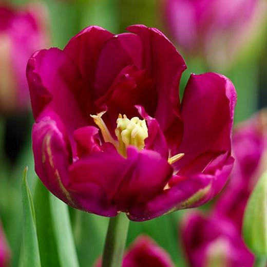 Tulip Royal Acres, Tulipa Royal Acres, Tulipe Royal Acres, Purple Tulips, Double Early tulips, Tulipes Double Hatives, Spring Bulbs, Spring Flowers