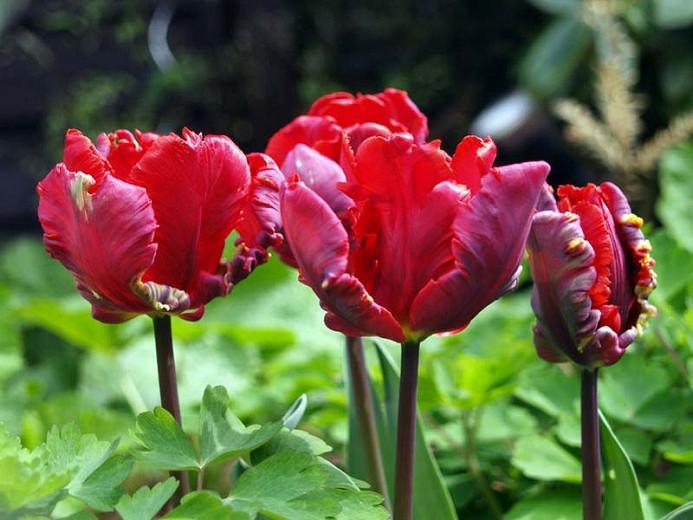 Tulipa Rococo, Tulip 'Rococo', Parrot Tulip 'Rococo', Parrot Tulips, Spring Bulbs, Spring Flowers, Tulipe Rococo,Parrot tulip, Red Tulip, Tulip Perroquet