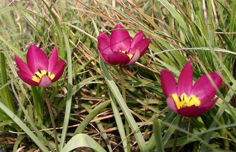 Tulipa Pulchella 'Persian Pearl', Tulip 'Persian Pearl', Tulipa Humilis var. Pulchella 'Persian Pearl', Tulipa Humilis 'Persian Pearl', Botanical Tulip, Tulip Species, Rock Garden Tulip, Wild Tulip