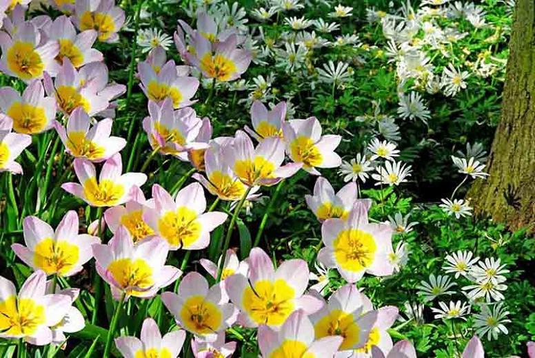 Candia Tulip 'Lilac Wonder', Miscellaneous Tulip 'Lilac Wonder', Tulipa Bakeri 'Lilac Wonder', Tulipa 'Lilac Wonder', Tulip 'Lilac Wonder', Botanical Tulips, Tulip Species, Rock Garden Tulips, Wild Tulips, Mid spring tulip, bicolored tulip, Candle Stick T