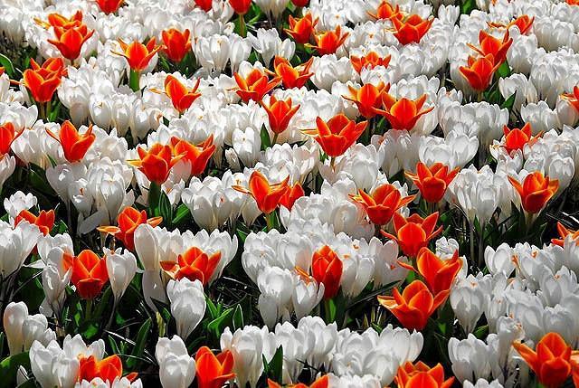 Tulipa Early Harvest,Tulipe Early Harvest, Tulip 'Early Harvest', Kaufmanniana Tulip 'Early Harvest', Waterlily Tulip 'Early Harvest', Kaufmanniana Tulips, Spring Bulbs, Spring Flowers, Orange Tulip