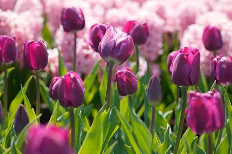 Tulipa Negrita,Tulip 'Negrita', Triumph Tulip 'Negrita', Triumph Tulips, Spring Bulbs, Spring Flowers, Tulipe Negrita,Purple Tulip