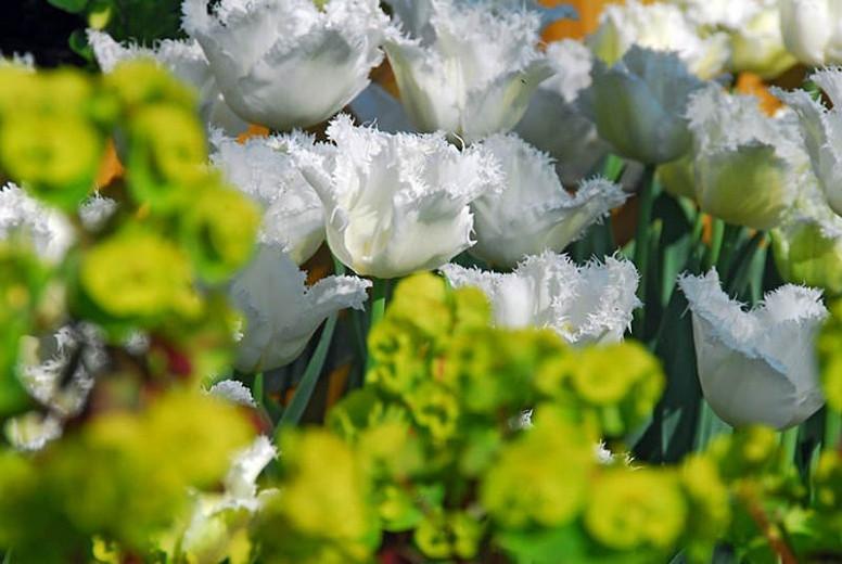 Tulipa Swan Wings, Tulip 'Swan Wings', Fringed Tulip 'Swan Wings', Fringed Tulips, Spring Bulbs, Spring Flowers, Tulipe Swan Wings, White tulips, Tulipes Dentelle